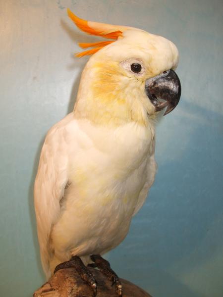 Citron cockatoo - photo#22