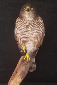 African Goshawk