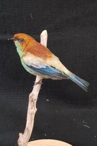 Chestnut Backed Tanager