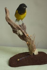 Black & Yellow Grosbeak