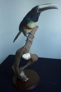 Black Necked Aracari