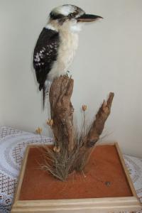 Kookaburra - Dacelo Gigas