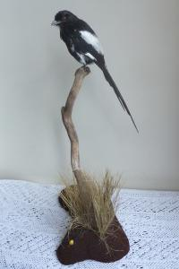 Long Tailed Magpie Shrike