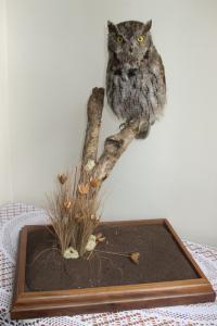 Western Screech Owl - Otus Kennicotti