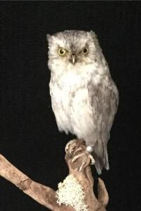 Common Scops Owl