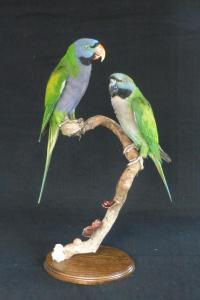 Lord Derby Parakeet
