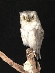 Common Scops Owl
