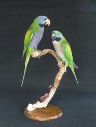 Lord Derby Parakeet