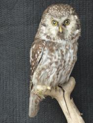 Tengmalms Owl