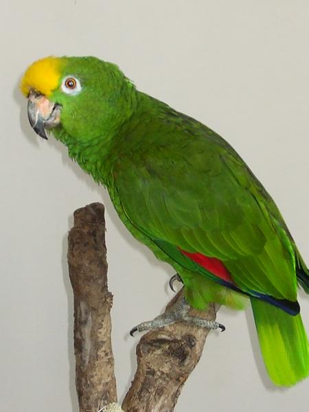 Foro LoroMania - Loro Real ( Amazona Ochrocephala ... Yellow Crowned Amazon